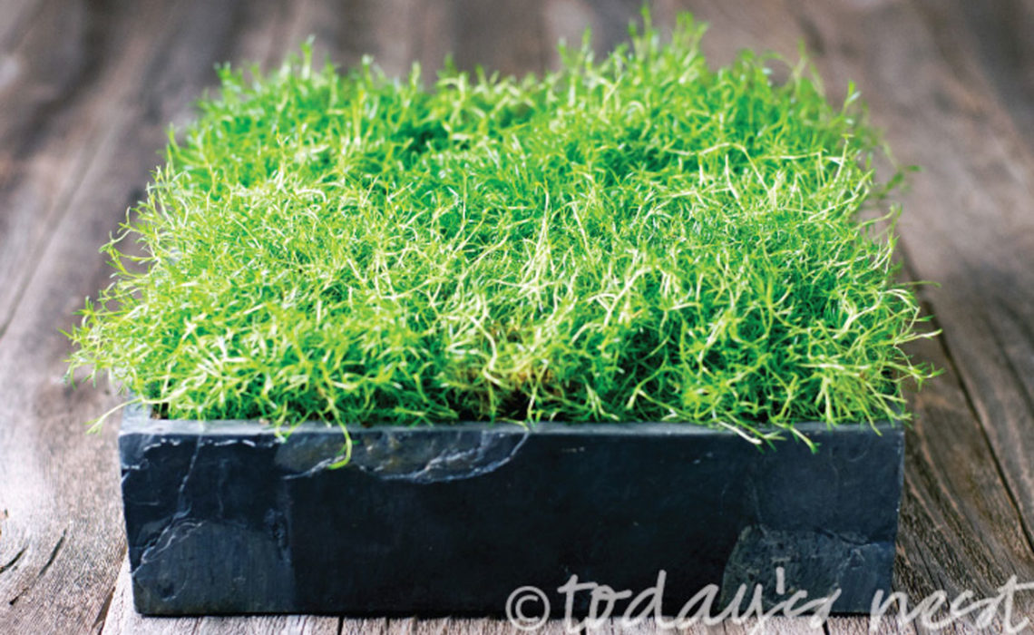 Bring the Green! Irish Moss Planter Box
